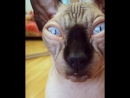 Гипнотизирую.... мой взгляд приносит удачу ! _eyes1_type_1_2__heart_eyes_cat__smile_cat__kissing_cat_ - сфинкс - catsofinsta.