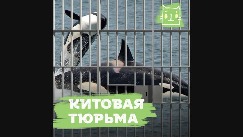 В Приморье косаток и белух заперли в «китовой тюрьме»