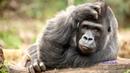 Música African Style - Images gorilas, orangutanes y sus crías.