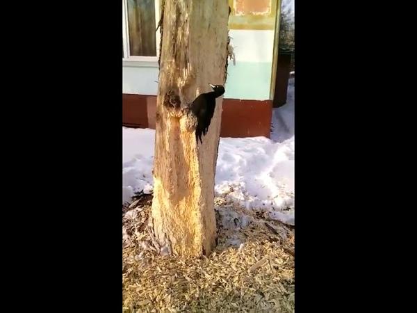 Работник месяца настойчивый дятел четыре дня долбил дерево