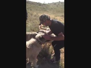 Anadolu AslanI kangal köpekleri