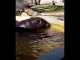 Бегемоты помогли утёнку