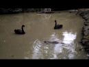 Как черный лебедь водную крысу гонял. Пруд дендрария города Сочи 2018 год