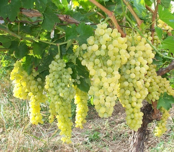 советы начинающим виноградарям выбор сортов для посадки – главная задача по важности. я сам вначале впопыхах посадил те, которые считал лучшими. кисти их были крупными, фотографии – самые яркие,