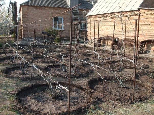 Советы начинающим виноградарям
