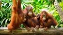 Приколы с обезьянами Смешные обезьяны