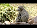 Why Baboon Society is All About 'Who You Know' (4K)