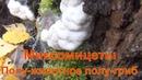 Миксомицеты Что за гриб растет на березе как пена сибирь тайга лекарственные грибы тихая охота