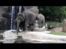 Заботливая мама слониха и слонята