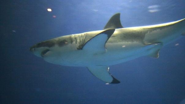 Мегалодоны могли вымереть из-за белых акул Учёные провели анализ и выяснили, что гигантские акулы древности мегалодоны, вероятнее всего, вымерли из-за маленьких «сородичей» белых акул. Сами по