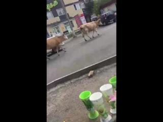 Коровки в Дивногорске