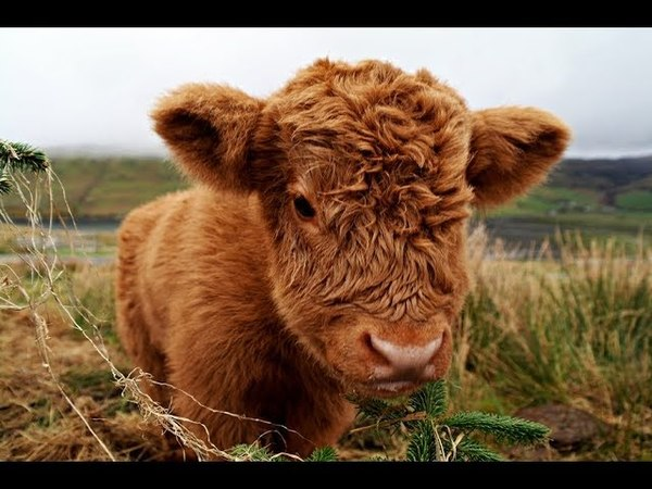 90 Seconds of Adorable and Fluffy Highland Calves - Cute Baby Cattles Compilation