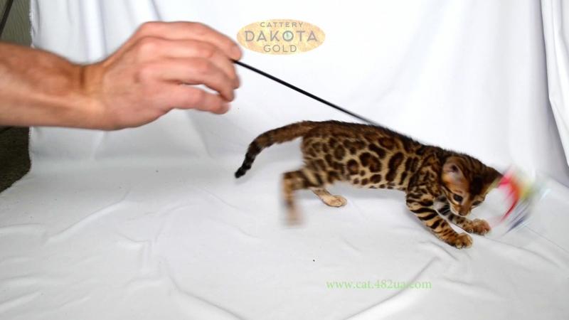 Dakota Gold, официальный питомник бенгальской кошки, бенгальский котенок, на белом фоне 5