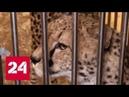 В столичном цирке на Цветном бульваре леопард напал на 4-летнюю девочку - Россия 24