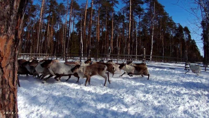 Вакцинация против сибирской язвы, чипирование северных оленей.