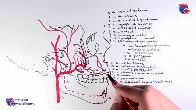 Верхнечелюстная артерия и ее ветви - meduniver.com