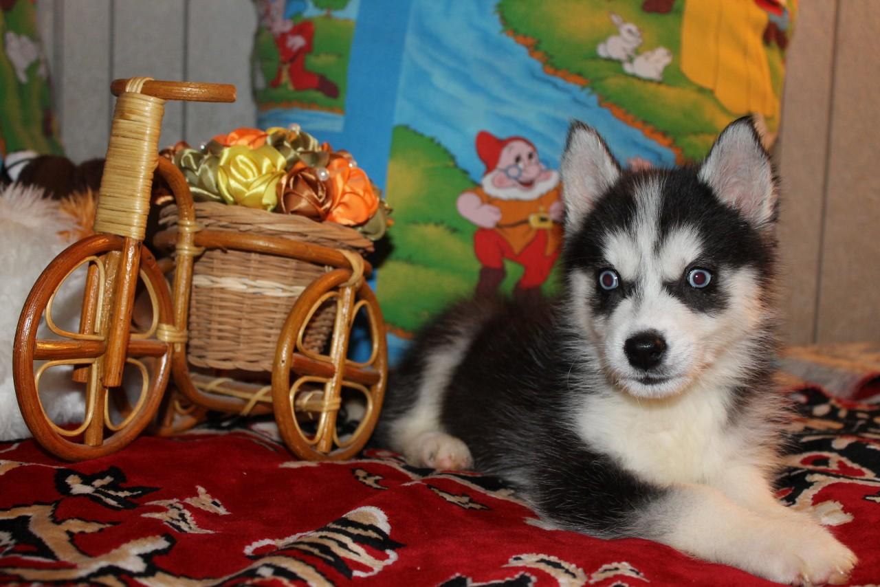 Продается очаровательная девочка сибирской хаски.