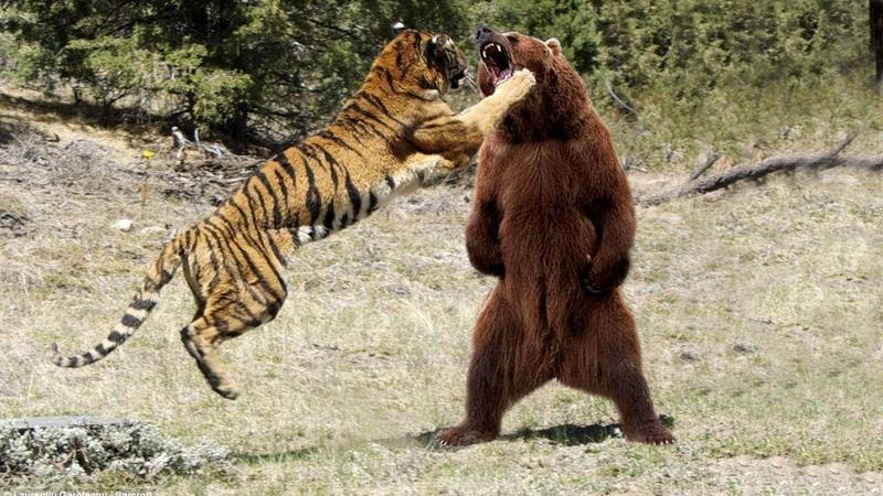 МЕДВЕДЬ В ДЕЛЕ Медведь против льва тигра пумы
