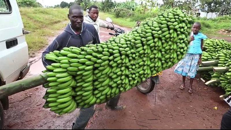 How To Harvest Banana? - Banana Harvesting Farming