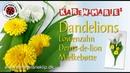 Quilling Dandelions/ Papier Löwenzahn/ Papir Mælkebøtte - Karen Marie Klip Papir