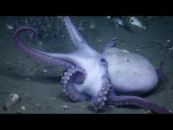 Cephalopod Week in the Cascadia Margin   Nautilus Live
