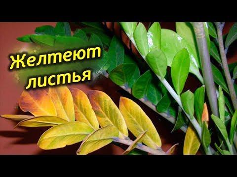 Почему желтеют листья у долларового дерева Что делать, как спасти Замиокулькас