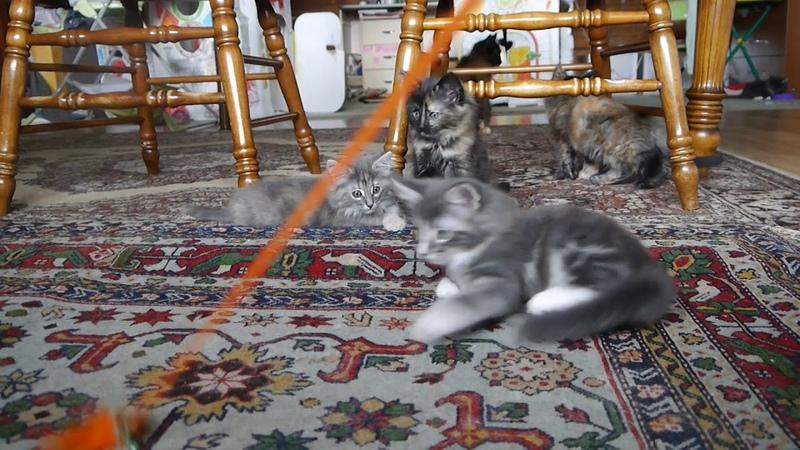 Норвежские лесные котята Белла, Белинда, Беата и Базилио