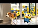 Minion Dave in REAL LIFE Funny Dogs Louie Marie Part 1