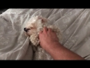 Dog enjoying owners belly rub gets sat on by jealous pooch