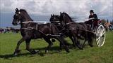 Three in hand horse driving Friesian horses. Breeding day 'It Fryske Hynder' Blauwhuis.