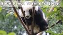 Baby Panda Trying To Sleep iPanda