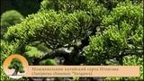 Можжевельник китайский сорта Итоигава (Juniperus chinensis