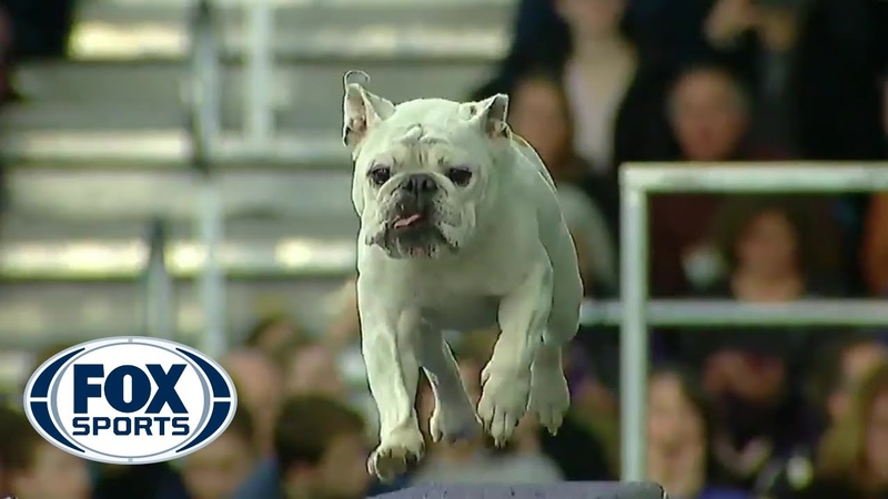 Watch Rudy the Bulldog crush the 2019 WKC Masters Agility course | FOX SPORTS