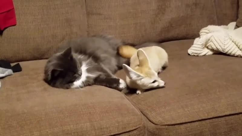 I Got a Foster Puppy My Fox Was NOT HAPPY