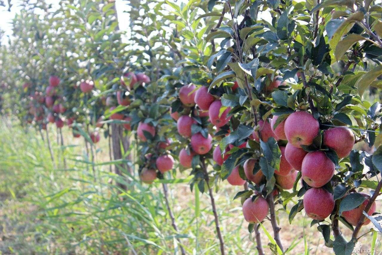 В Зеленчукском районе заложат около 300 га интенсивного яблоневого сада