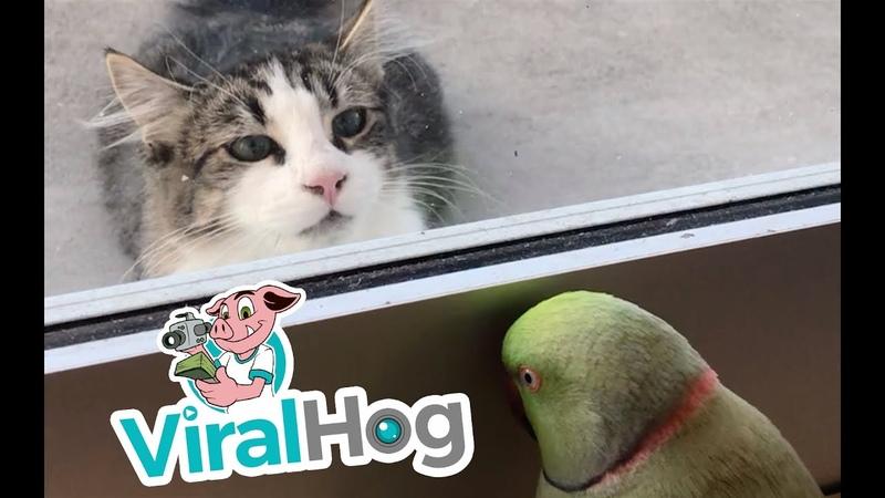 Parrot Plays Peek-a-Boo with Neighbors Cat || ViralHog