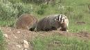 Американский барсук / American Badger Taxidea Taxus