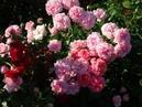 Секретный ингредиент для красивых роз! Встреча в клубе цветоводов. часть 1