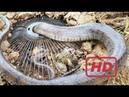 Hou La La Une Petite Fille Intelligente Étonnante Attrape De Gros Serpents En Utilisant Un Piège D