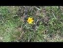 Скромная красота-возле автоподхода Керчь.Скифские тюльпаны-жёлтые цветы.