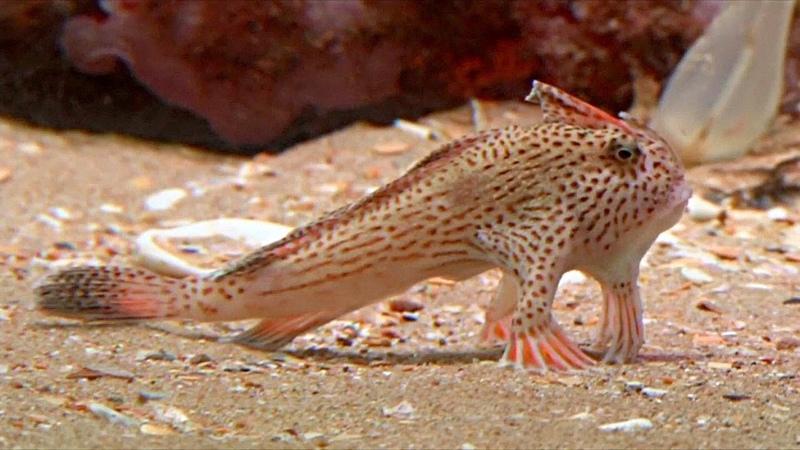 «Ходячие» рыбки новую популяцию обнаружили у берегов Тасмании