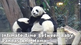 Intimate Time Between Baby Pandas And Mama iPanda