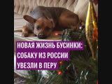 Новая жизнь Бусинки: собаку из России увезли в Перу