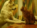 алабай против кота