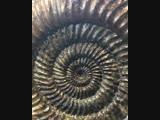Аммонит Speetoniceras versicolor