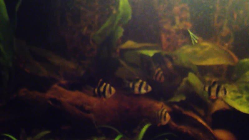 Барбус суматранский, Коридорас золотистый