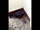 я и голубь спрятались от дождя Вот такие мы умные птицы!