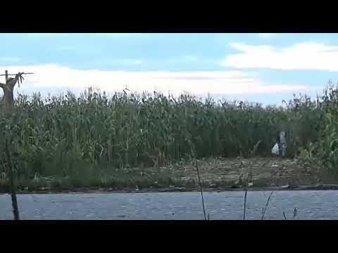 Пугало ожило отдай кукурузу