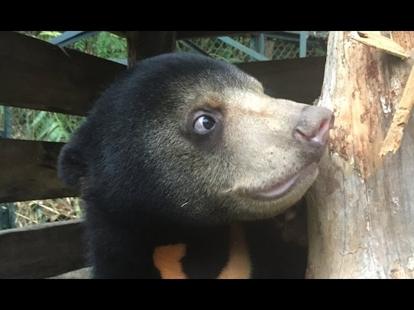Rescued sun bear Murphy's first year - they grow up so fast!