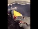 Shark Puppet CHEESE